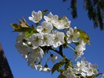 Wild Cherry (Prunus avium)